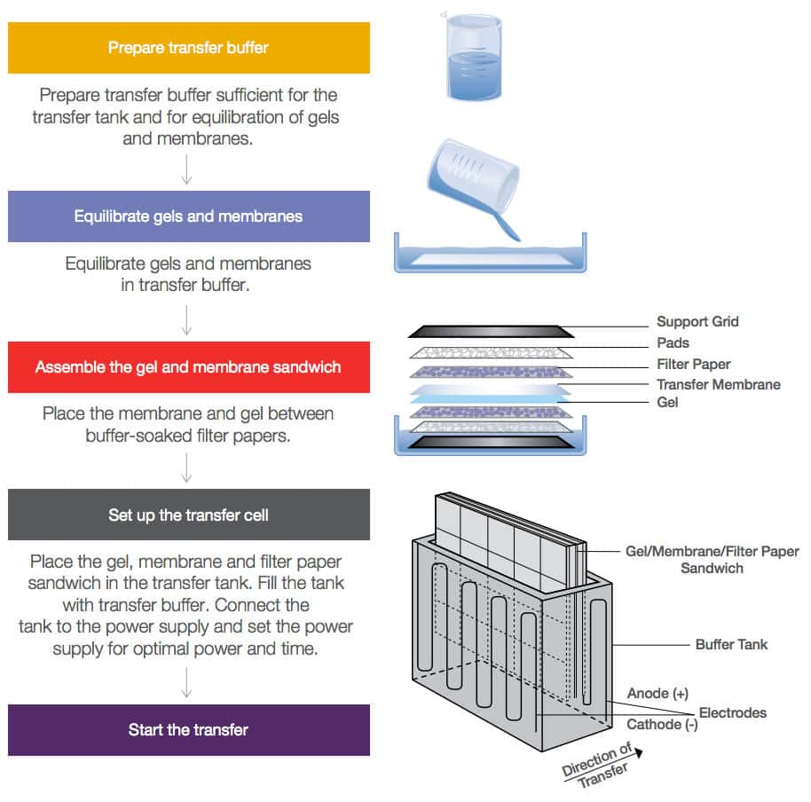 Western Blot Transfer Methods Thermo Fisher Scientific Fr