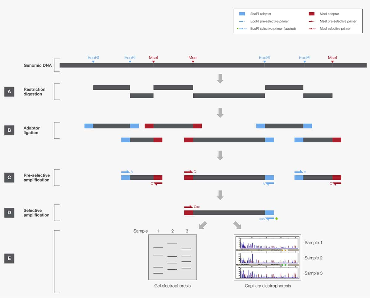 restriction enzymes in genome mapping and analysis | thermo fisher