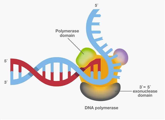 DNA Polymerase—Four Key Characteristics for PCR   Thermo Fisher Scientific - IN
