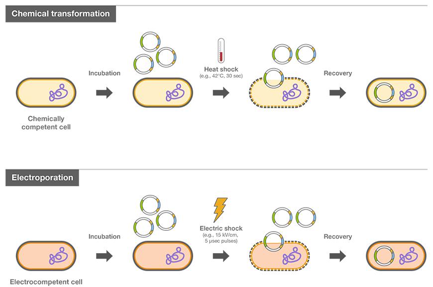 細菌の形質転換とコンピテントセ...