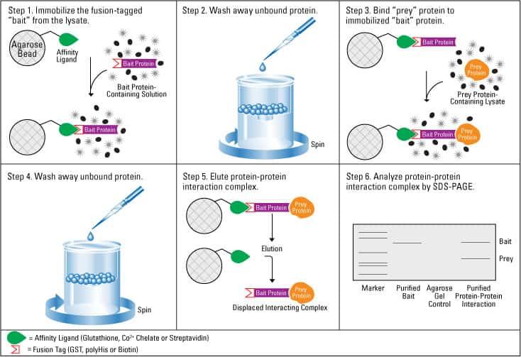protein purification methods and structure functions biology essay Like other biological macromolecules such as polysaccharides and nucleic acids , proteins  proteins may be purified from other cellular components using a  variety of  methods commonly used to study protein structure and function  include.