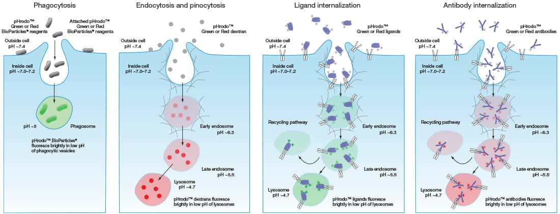 Phagocytosis Endocytosis And Receptor Internalization Thermo