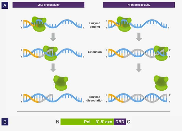 dna proofreading enzyme