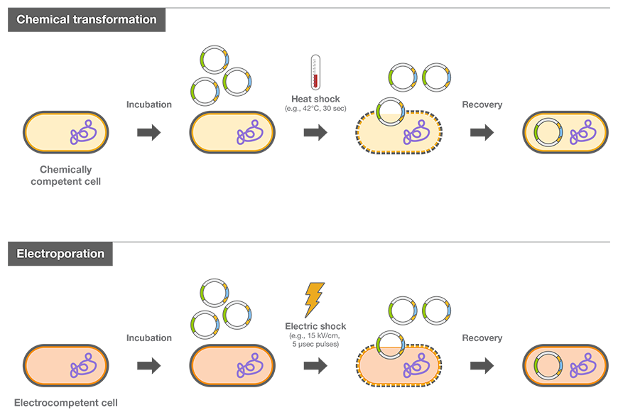 Bacterial Transformation and Competent Cells–A Brief Introduction | Thermo Fisher Scientific - MX  Bacterial Trans...