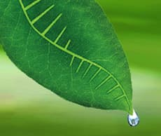 Green leaf with water dripping