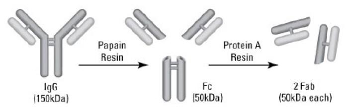 Antibody Fragmentation Kits | Thermo Fisher Scientific - US