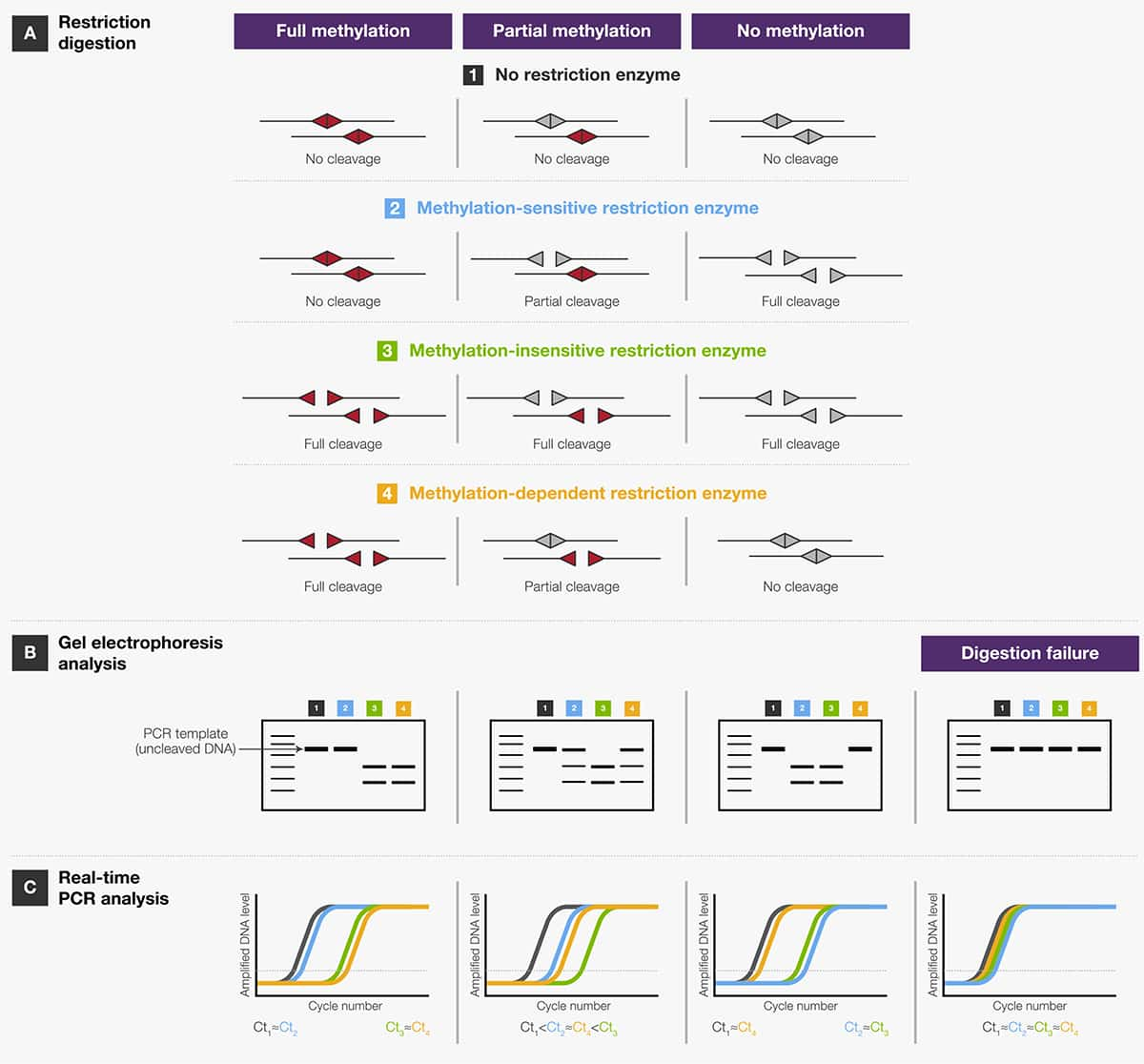 Site Map Digital: Restriction Enzymes In Genome Mapping And Analysis