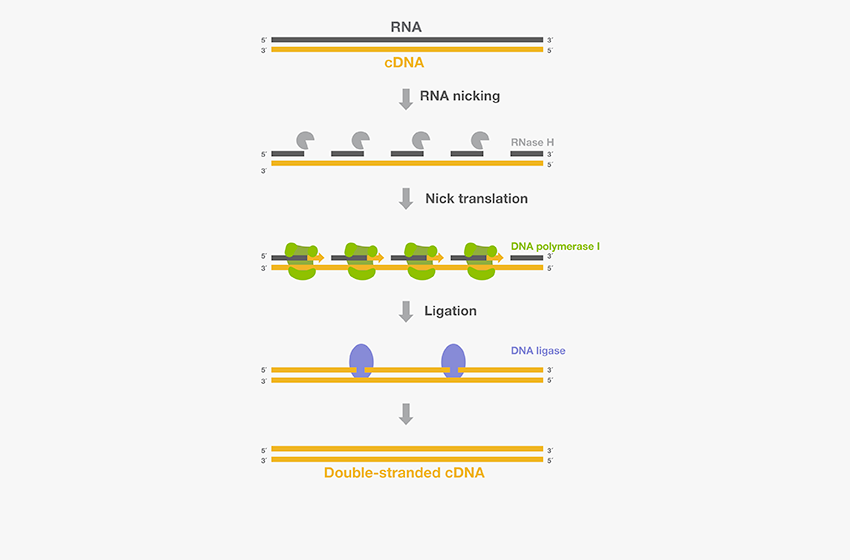 Double-stranded cDNA synthesis by the Gubler-Hoffman procedure