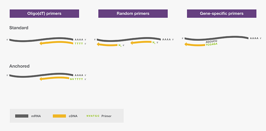 Common primers used in reverse transcription