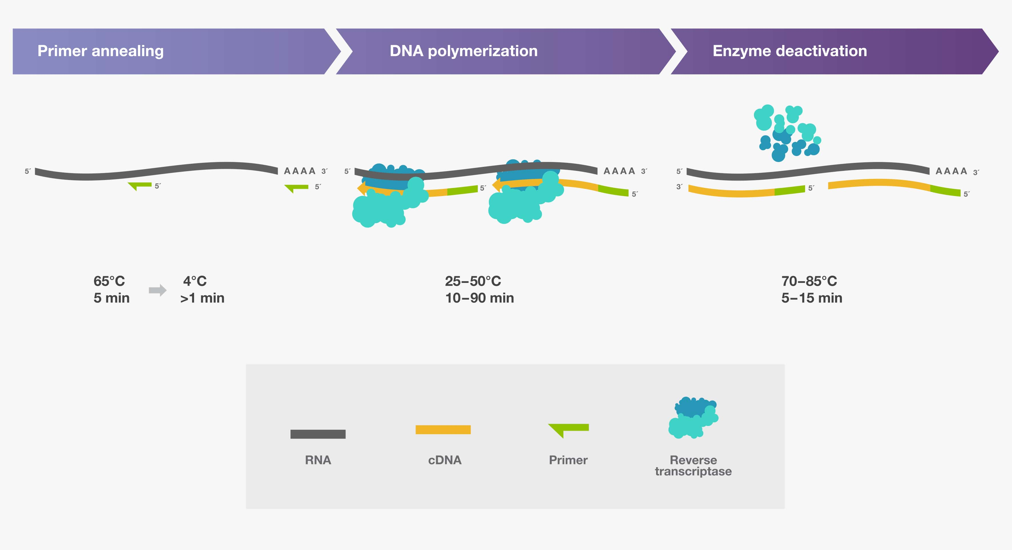 Three main steps of cDNA synthesis