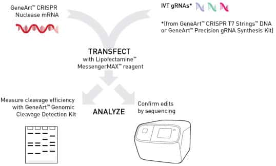 CRISPR Nuclease mRNA and in vitro transcribed gRNA.