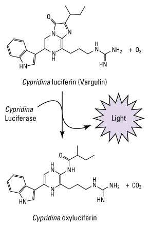 Cypridina luciferase reaction