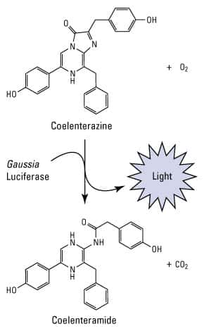 Gaussia luciferase reaction