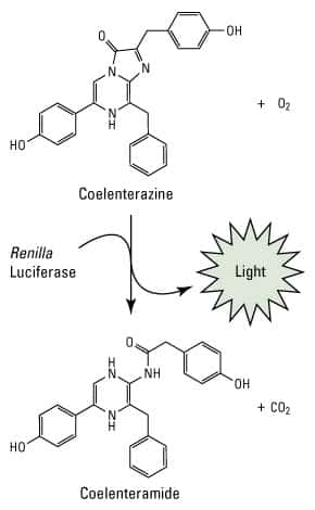 Renilla luciferase reaction